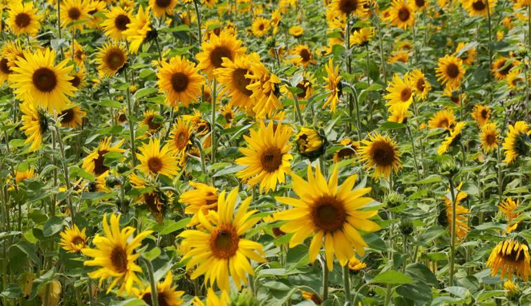 Blume des Monats August: die Sonnenblume