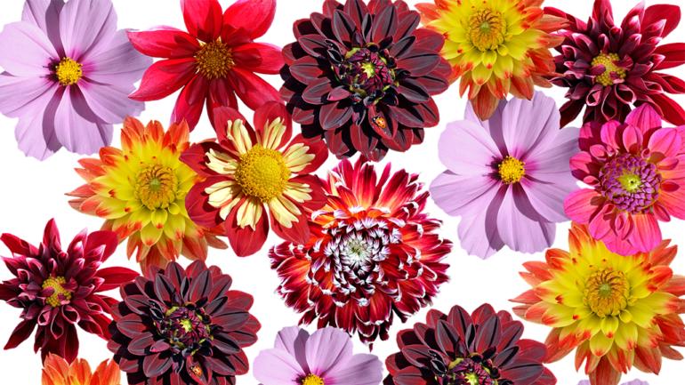Blume des Monats September: die Dahlie