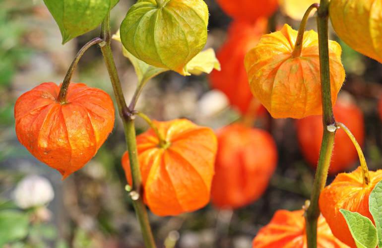 Blume des Monats Oktober: Lampionblume