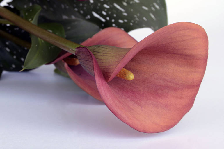 Blume des Monats November: die Calla!