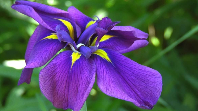 Blume des Monats Februar: die Iris!