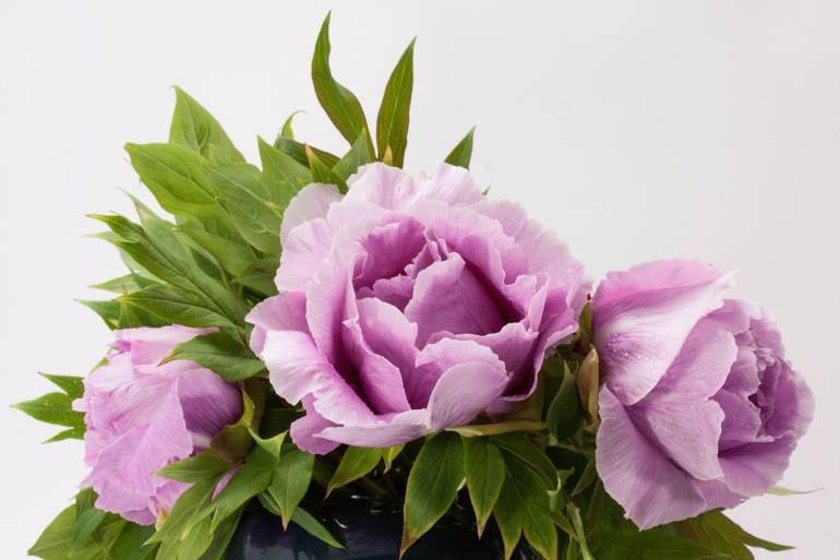 Blume des Monats Mai: die Pfingstrose