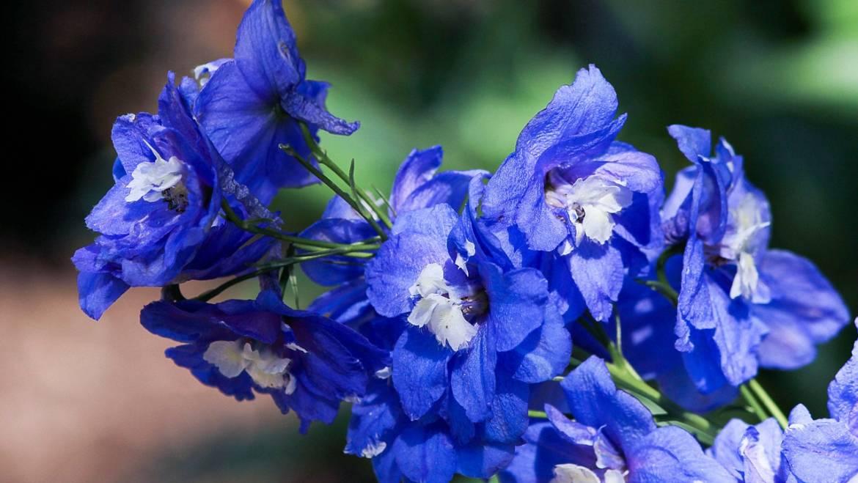 Blume des Monats Juli: der Rittersporn