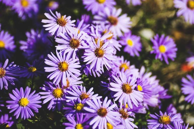 Blumen des Monats Oktober: die Astern!