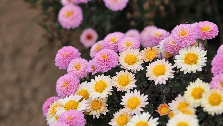 Blume des Monats November: die Chrysantheme!