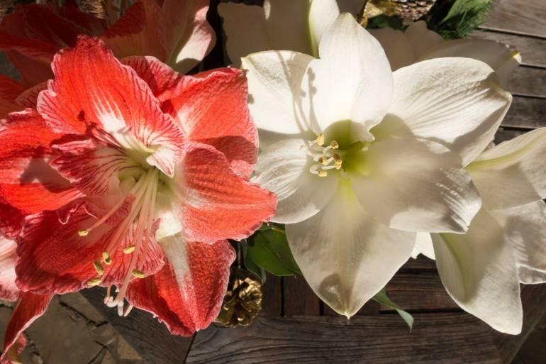 Blume des Monats Dezember: Amaryllis!